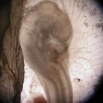 18_70hr_embryo_close_P6034474
