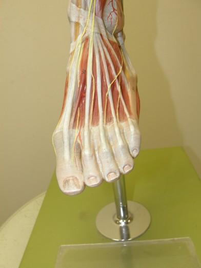 dorsal_foot_PC010049